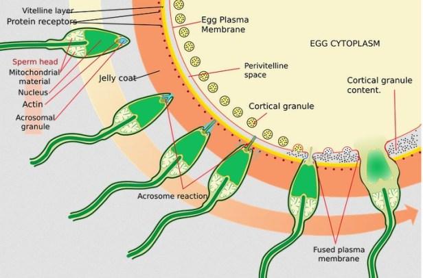 6 makanan penyubur sperma pria