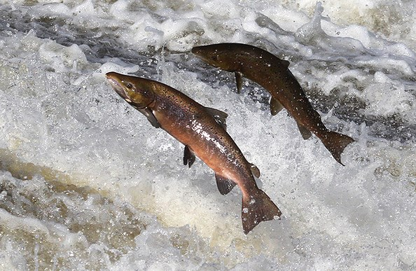 salmon-ikan